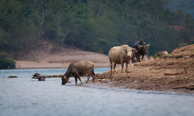 Water Buffalo's having a dip in the Ou River