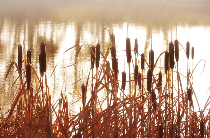 Reeds by water