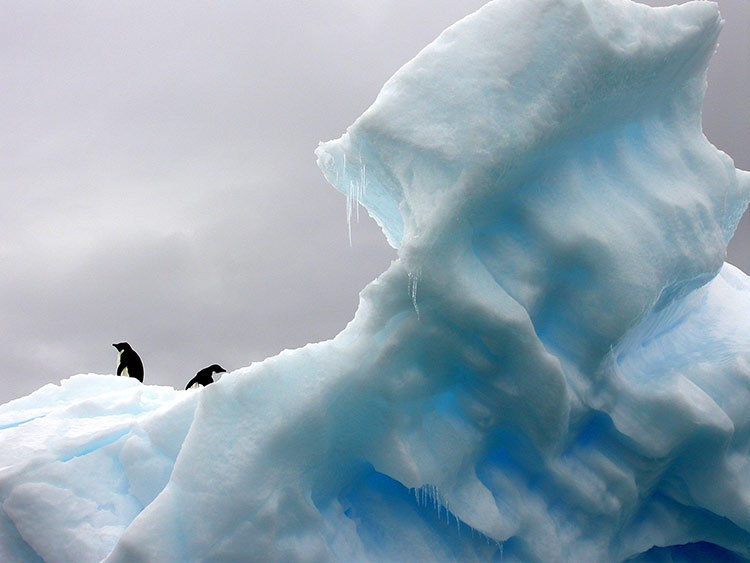 penguin antarctic