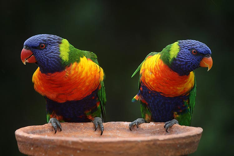 rainbow lorikeets queensland