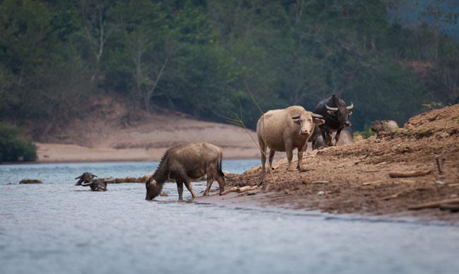 Water Buffalo's having a dip in the Ou River