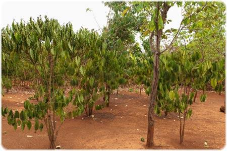 'Robusta' trees
