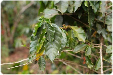 Arabica coffee leaves