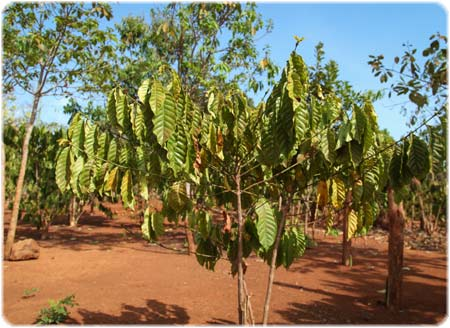 Robusta coffee tree