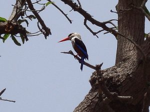 Cape Verde birds