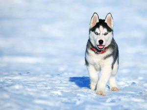 arctic husky